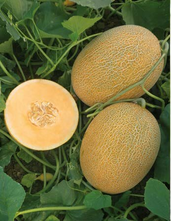 seminte pepene galben