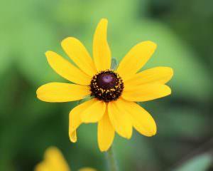 floarea ulei de susan